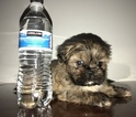 Shih Tzu Puppy For Sale in WOODSTOCK, GA, USA