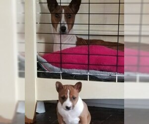 Basenji Puppy For Sale in TEXARKANA, TX, USA