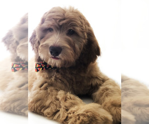 Goldendoodle Puppy for Sale in SUMMERDALE, Alabama USA