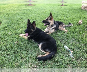 German Shepherd Dog Puppy for sale in HARLINGEN, TX, USA