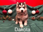Siberian Husky Puppy For Sale in SAYLORSBURG, PA,