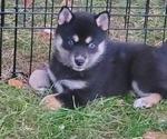 Puppy 4 Shiba Inu-Siberian Husky Mix
