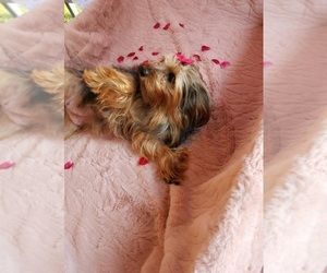 Mother of the Yorkshire Terrier puppies born on 03/31/2021