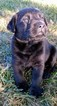 Labrador Retriever Puppy For Sale in TAMPICO, IL,
