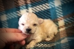 Morkie-Poodle (Toy) Mix Puppy For Sale in GRAYSON, LA, USA