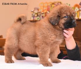 Tibetan Mastiff Puppy for sale in Sicienko, Kujawsko-Pomorskie, Poland