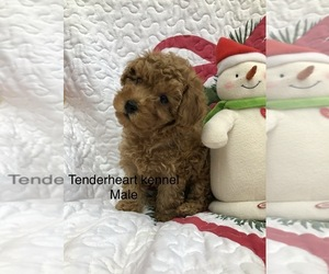 Poodle (Miniature) Puppy for sale in SILEX, MO, USA
