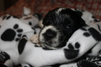 Small #5 Great Pyrenees-Labrador Retriever Mix