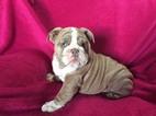 English Bulldog Puppy For Sale in EPHRATA, PA, USA