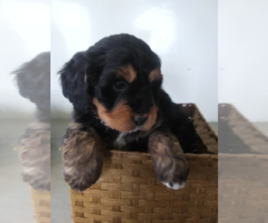 Bernedoodle Puppy for sale in ANN ARBOR, MI, USA