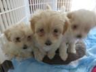 Maltipoo Puppy For Sale in MANITO, IL, USA