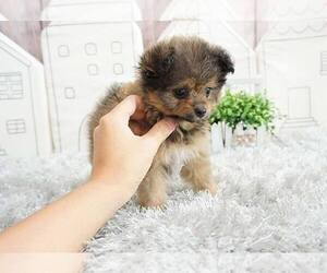 Pom-A-Poo-Unknown Mix Puppy for sale in FULLERTON, CA, USA