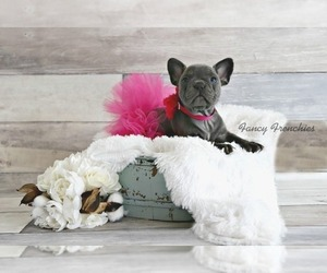 French Bulldog Puppy for sale in COOPER CITY, FL, USA
