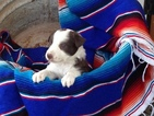 Border Collie Puppy For Sale in ALAMOGORDO, NM,