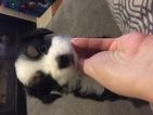 Australian Shepherd Puppy For Sale in EATONVILLE, WA