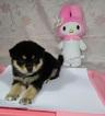 Shiba Inu Puppy For Sale near 94116, San Francisco, CA, USA