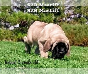 Daniff Puppy for Sale in PORTOLA, California USA