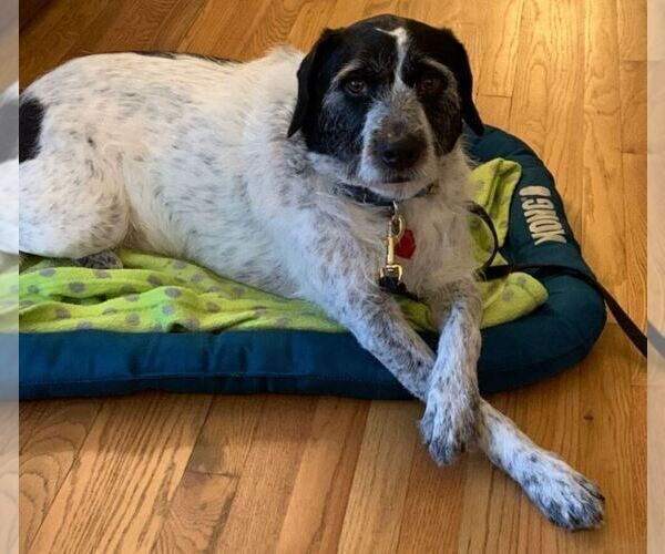 View Ad: German Wirehaired Pointer Mix Dog for Adoption ...