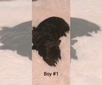 Puppy 3 Maltipoo-Peke-A-Poo Mix