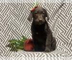 Small #3 Labrador Retriever