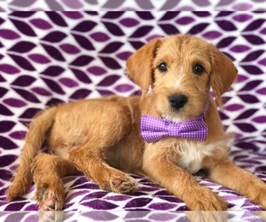 Miniature Labradoodle Dog for Adoption in KIRKWOOD, Pennsylvania USA