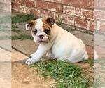 English Bulldogge Puppy For Sale in PIEDMONT, OK, USA