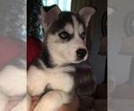 Puppy 4 Pomsky-Siberian Husky Mix