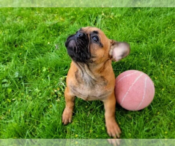 Medium Photo #5 French Bulldog Puppy For Sale in EASTON, PA, USA