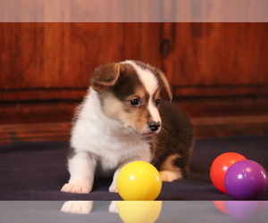 Pembroke Welsh Corgi Dog for Adoption in FORT MADISON, Iowa USA