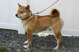 Shiba Inu Dog For Adoption in TROUPSBURG, NY, USA