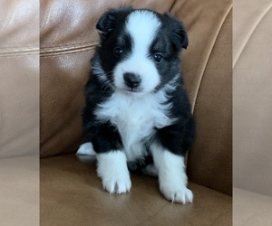 Miniature Australian Shepherd Puppy for sale in MC LEAN, IL, USA