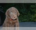 Puppy 3 Shepradors
