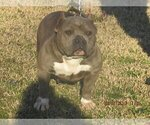 Small #1 American Pit Bull Terrier