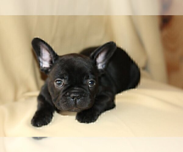 Medium Photo #2 French Bulldog Puppy For Sale in LONGWOOD, FL, USA