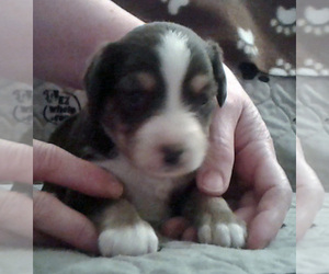 Miniature Australian Shepherd Puppy for sale in HILLIARD, OH, USA