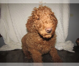 Goldendoodle Puppy for sale in LOUISVILLE, KY, USA