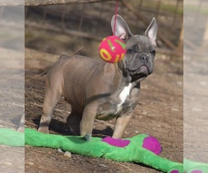 French Bulldog Dog for Adoption in Pilis, Pest Hungary
