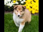 Collie Puppy For Sale in LIVONIA, MI