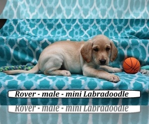 Miniature Labradoodle Dog for Adoption in CLARKRANGE, Tennessee USA