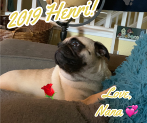 Mother of the Pug puppies born on 12/27/2019