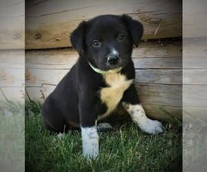 Border Collie Puppy for Sale in MARIPOSA, California USA