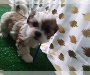 Shih Tzu Puppy for sale in SCOTTVILLE, MI, USA