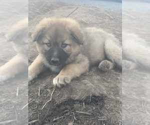 German Shepherd Dog-Siberian Husky Mix Puppy for Sale in YAKIMA, Washington USA