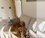 Small Photo #5 Golden Retriever Puppy For Sale in ROGERSVILLE, MO, USA