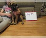 Small #17 Mastiff