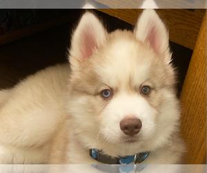 Siberian Husky Puppy for sale in LYNNWOOD, WA, USA
