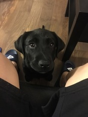 Labrador Retriever Puppy For Sale in BOSTON, MA, USA