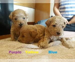 Cavalier King Charles Spaniel-Poodle (Toy) Mix Puppy for sale in Tallimba, New South Wales, Australia