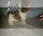 Small Photo #4 Shih Tzu Puppy For Sale in OTTAWA, OH, USA