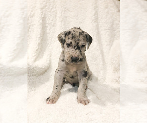 Great Dane Puppy for sale in BLUFFTON, IN, USA